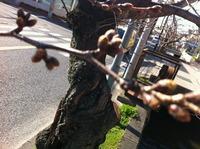 2013年3月12日の桜2