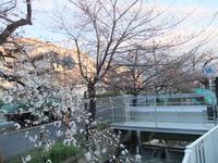 2013年3月25日の桜2