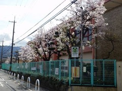八尾市立北山本小学校の桜20160405