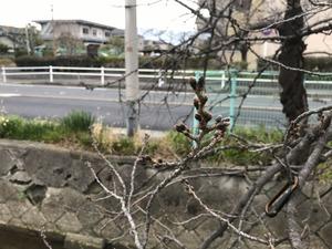 膨らみ始めた桜の花芽20190306
