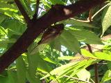 木に止まるクマゼミ