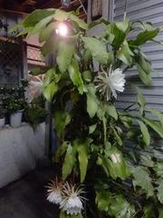 月下美人の花たち