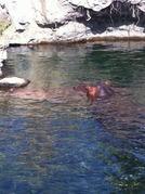プールに潜ったカバさん