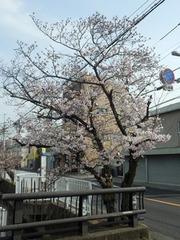 20160331福万寺から北の桜の木