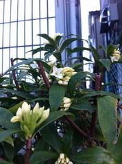 咲き始めた白い沈丁花