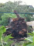 倒れてしまったポプラの木の根っこ