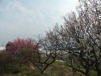 咲き始めた白梅の古木