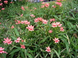 植え込みに咲く花