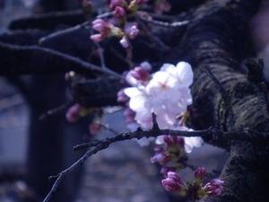咲き始めた玉串川沿いのソメイヨシノ2019年-4