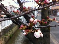 開花間近の玉串川沿いのソメイヨシノ