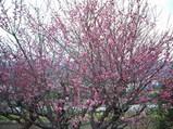 桃色の梅の花