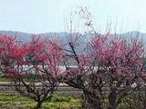桃色の梅と紅梅の古木