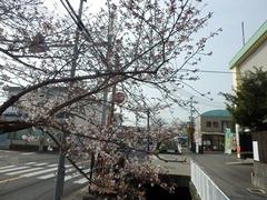20160331JA付近の桜の木