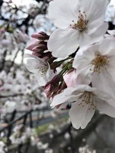 玉串川沿いのソメイヨシノ桜の花のアップ2019年