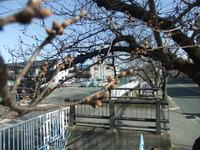 2013年3月15日玉串川の桜