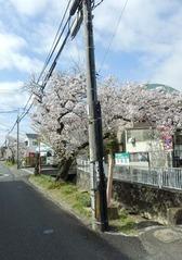 福万寺付近から見た南側の桜並木20160405