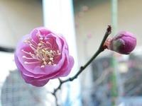 柳瀬製作所の梅の花