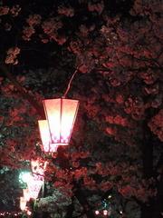 ぼんぼりと夜桜