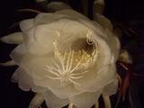 月下美人の花花弁内部のアップ
