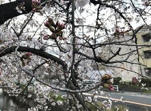 玉串川沿いの染井吉野桜と蕾