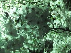 夜桜2013-8