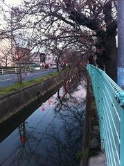 20160328福万寺南側の夕方の桜並木