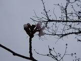 桜(ソメイヨシノ)の花