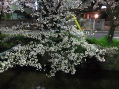 夜桜2013-10