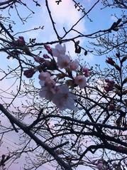 20160328福万寺南側付近の桜の花