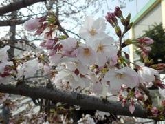 20160331JA傍の桜の花