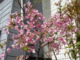 咲いていた桜