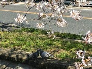 桜下でキスしているハトのカップル