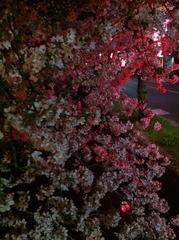 夜桜2013-1