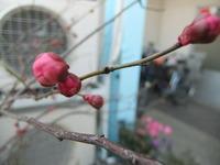 つぼみが膨らみ始めた紅梅