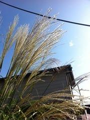 福万寺町の住宅で見かけたススキ
