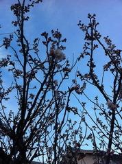 早咲の桜の花