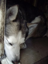 散歩後はすぐに小屋に入ったジュディ