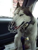 点滴後、車の中で待つジュディ(口輪付き)