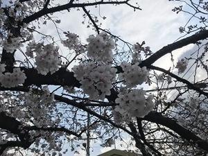 ソメイヨシノ桜の花の塊