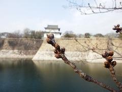 大阪城公園のソメイヨシノのつぼみ 2017年3月20日