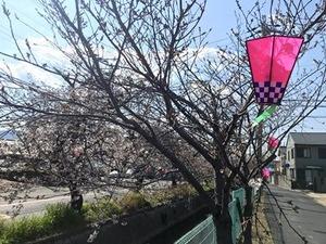チラホラ咲き出した玉串川沿いのソメイヨシノ桜の木2019年4月2日