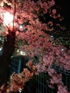 過去に撮った玉串川沿いの夜桜1