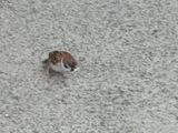 ポップコーンを啄ばむスズメ