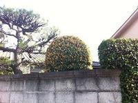 道中の金木犀3