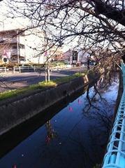 雪洞が付いた桜並木と玉串川