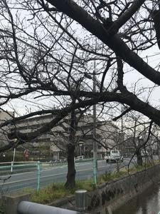 福万寺町付近の玉串川沿いの桜の木20190306