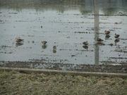 田で啄ばむカルガモの群れ2