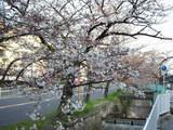 2009年3月31日夕方 玉串川沿いの桜 その1