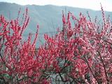 桃色と淡い赤の梅の花