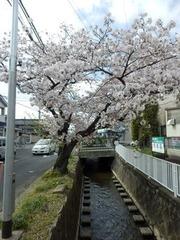 福万寺付近の桜の木20160405